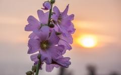פרח בשקיעה