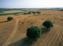 פרות בטבע