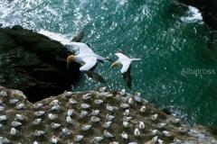 ציפורים ניו זינלנדיות