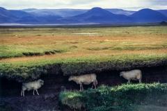 כבשים מתחת לאדמה