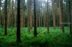 יער באירלנד