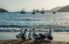 אווזים בחוף