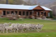 כבשים רצים